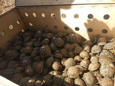 Liberan 211 tortugas terrestres en Calvià