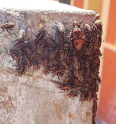 Cort se niega a actuar ante una plaga de insectos en Son Ferriol antes de 72 horas