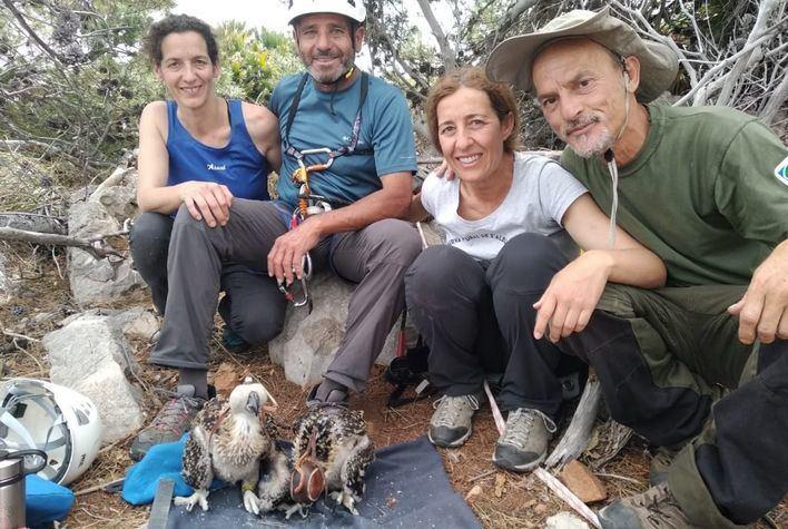 Anillan a dos águilas pescadoras nacidas en el Parque Natural de la Península de Llevant