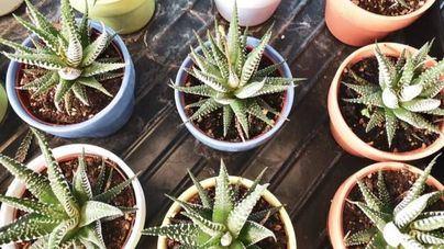 5 plantas de interior que este verano no pueden faltar en los hogares mallorquines