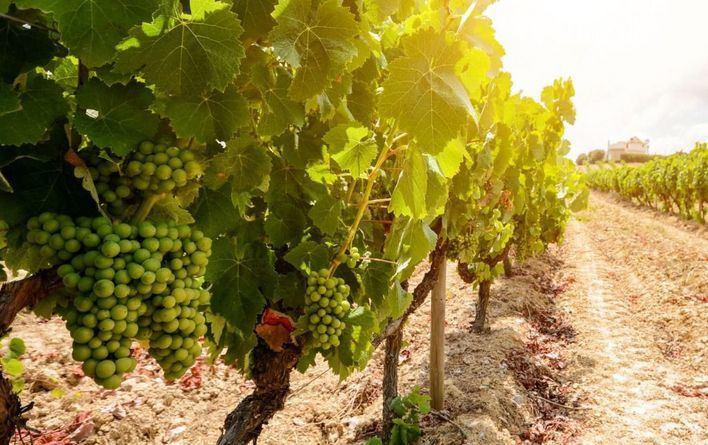 La viticultura del Mediterráneo, en riesgo por el cambio climático