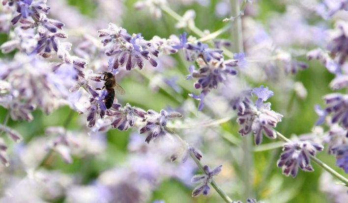 La UIB evalúa el impacto de la avispa asiática sobre las abejas productoras de miel en Mallorca