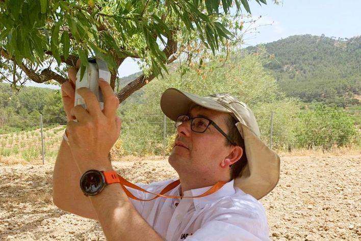 Investigan la incidencia de la Xylella fastidiosa en Mallorca con imágenes aéreas