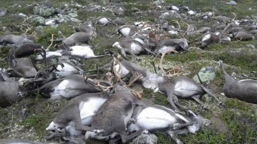 Renos muertos en el archipiélago de Svalbard