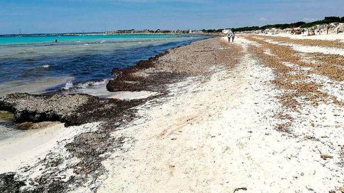 El GOB pide al Govern el informe que dice que es peligroso acumular posidonia en Sa Rápita