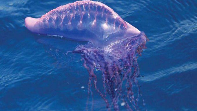 Aumenta la aparición de medusas en Menorca y de carabela portuguesa en Mallorca