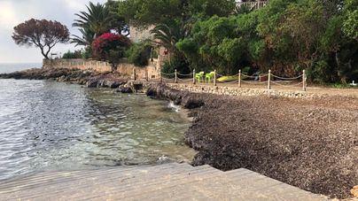 Ciudadanos Calvià denuncia la 'dejadez' en la limpieza de algas de la calita de Son Caliu