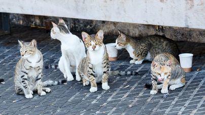 Marratxí gasta 15.000 euros en control sanitario y esterilización de gatos callejeros