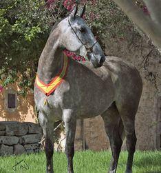 Los mejores caballos Pura Raza Española se dan cita este fin de semana en Andratx