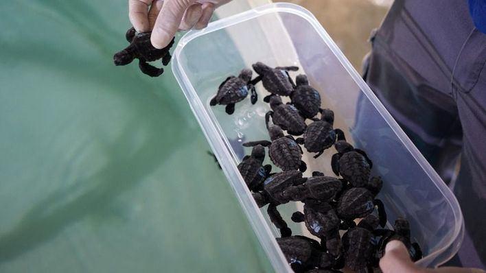 Las 37 tortugas nacidas en Ibiza pasarán un año en Mallorca y Valencia antes de ser liberadas