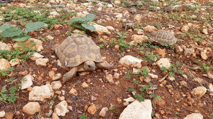 Liberan 170 tortugas mediterráneas en la finca pública de Capocorb de Llucmajor