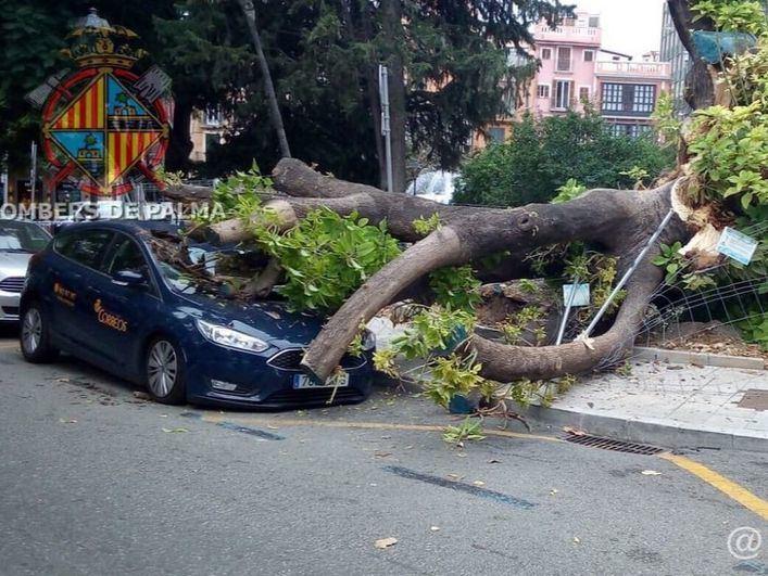 Cae el árbol centenario de la Plaza de la Reina