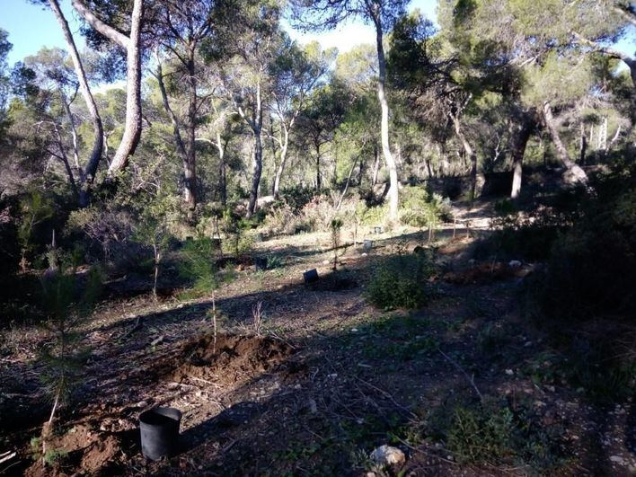 Estudiantes de Palma plantan 70 pinos y acebuches en el bosque de Bellver