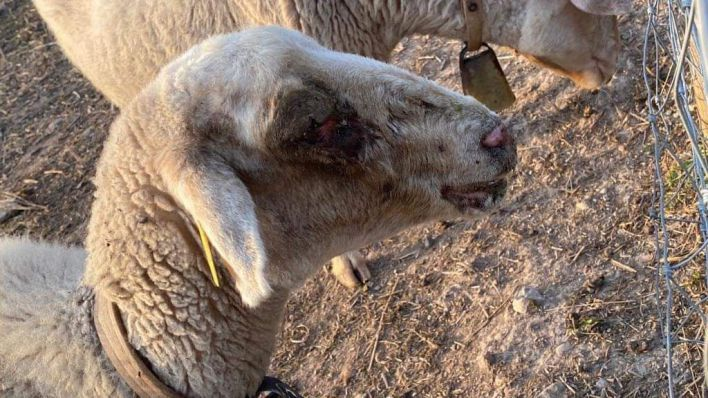 La Conselleria indica que las ovejas de Port d'Andratx están en