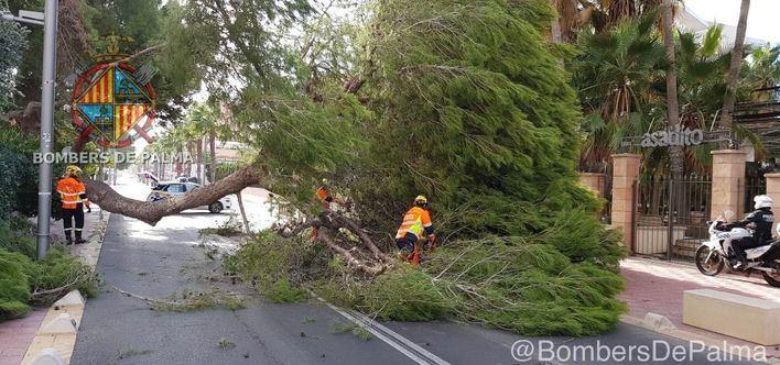 Alarma en Playa de Palma por la caída de un gran pino