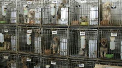 Un criador de perros de Mallorca, condenado a pagar 1.825 euros por intrusismo