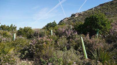 Siembran 21.000 árboles para reforestar la finca pública de sa Duaia