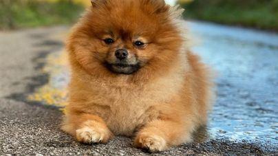 Lola, Coco y Thor, los nombres de perro más populares este año en Baleares, según Rover