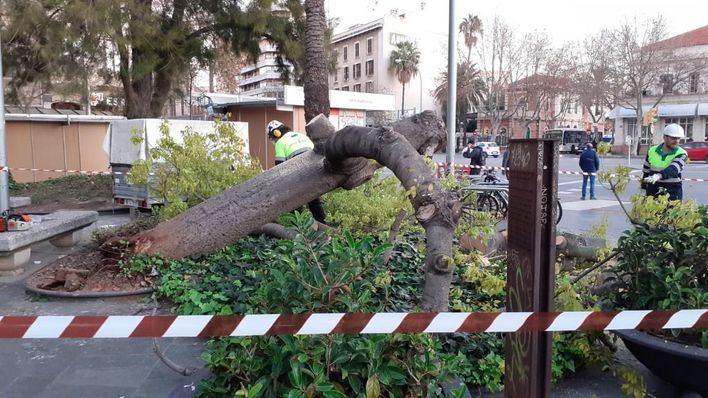 Talan y retiran un árbol de Plaza de España que tenía las raíces dañadas