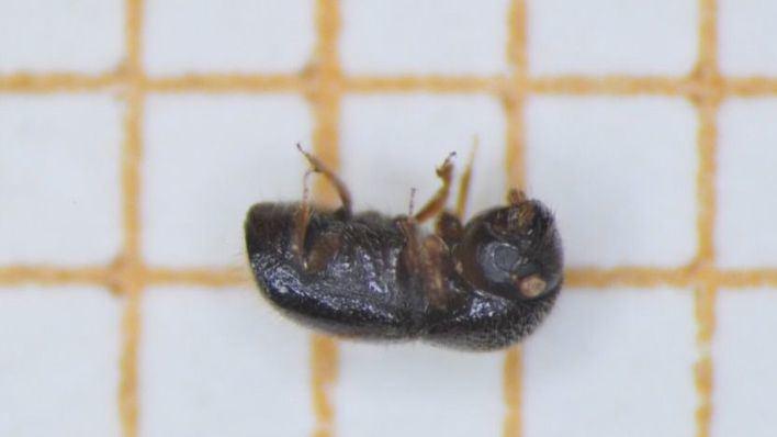 Detectan en Mallorca una especie invasora de escarabajo, la primera hallada en España