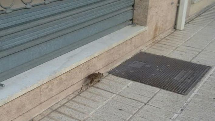 Ratas en Palma