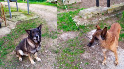 Éstos son los perros policía de Palma trasladados a Bellver