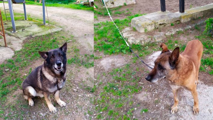 Dos de los perros policía de Palma tienen leishmaniosis