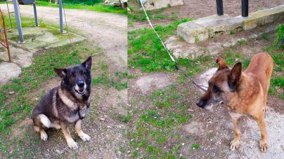 Cort lleva a Son Reus a los tres perros de la Policía Local