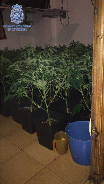 Huye al ser descubierta la plantación de marihuana que tenía en su casa en Son Gotleu