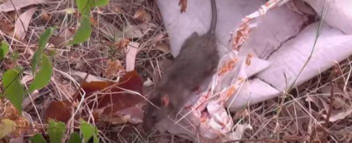 El PP denuncia una plaga de ratas en el centro de Binissalem