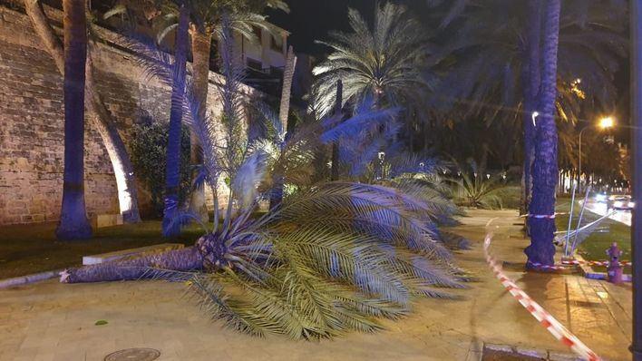 El viento arranca de cuajo árboles y palmeras en varias zonas de Palma