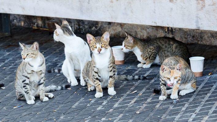 Amics i Amats de Puigpunyent pide ayuda para seguir salvando gatos