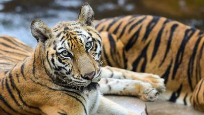 Un tigre da positivo en coronavirus en un zoo de Nueva York