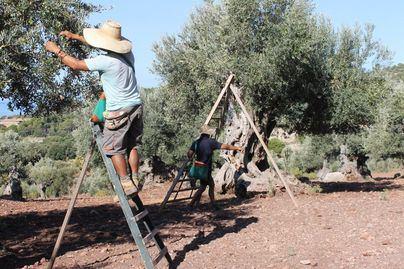 La 'xylella fastidiosa' amenaza al 95 por ciento de la producción europea de olivos