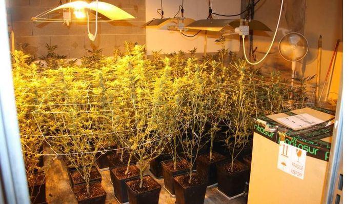 Desmantelan una plantación de marihuana en Montuïri
