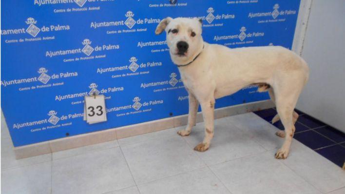 El Ayuntamiento estudia permitir los paseos de perros de Son Reus por parte de voluntarios