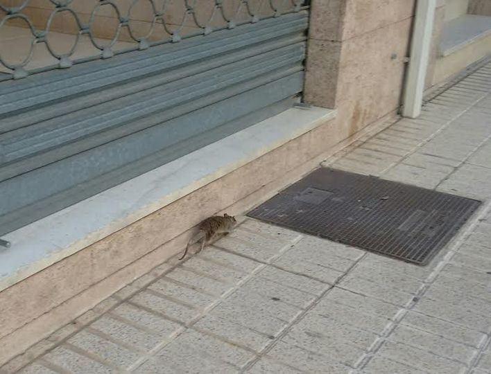 El PP exige a Cort un plan de limpieza contra las plagas de ratas, cucarachas y mosquitos