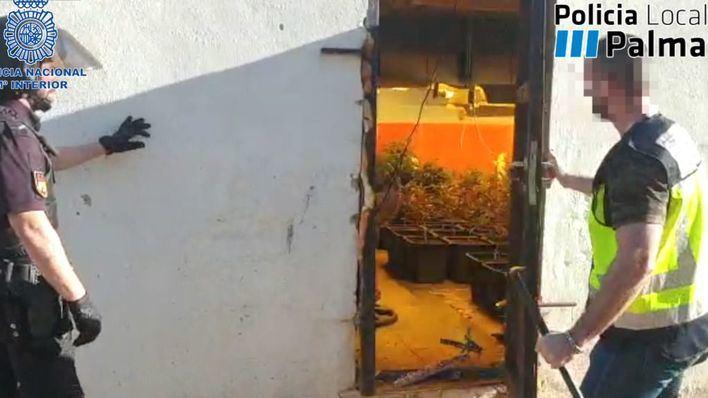 Desmantelan una importante plantación de marihuana que distribuía a Son Banya