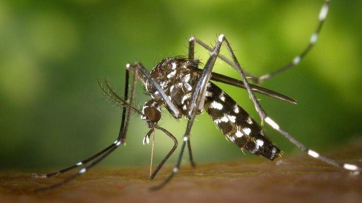Marratxí arranca la campaña de detección a domicilio del mosquito tigre
