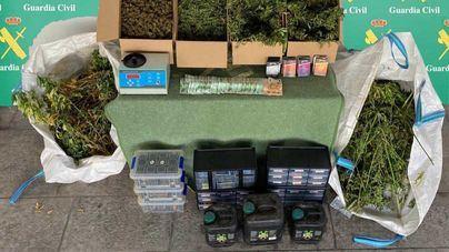 Dos detenidos en Llubí con 240 plantas de marihuana