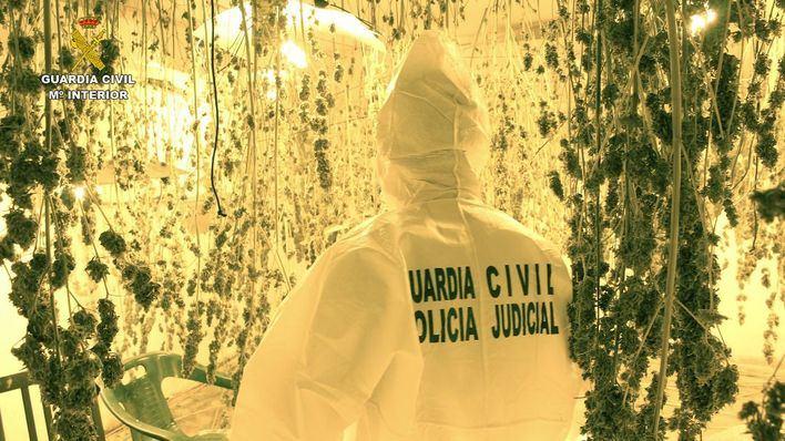 Desmantelan una plantación de marihuana en Sineu con 500 plantas