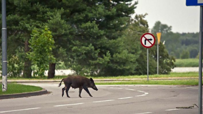 Aumenta el riesgo de accidente de tráfico con animales