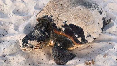 Desentierran los huevos que una tortuga marina puso en Punta Prima