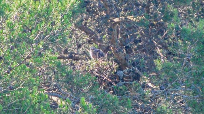 Localizan un nido de busardo ratonero y otro de milano real en el Parc Natural de Mondragó