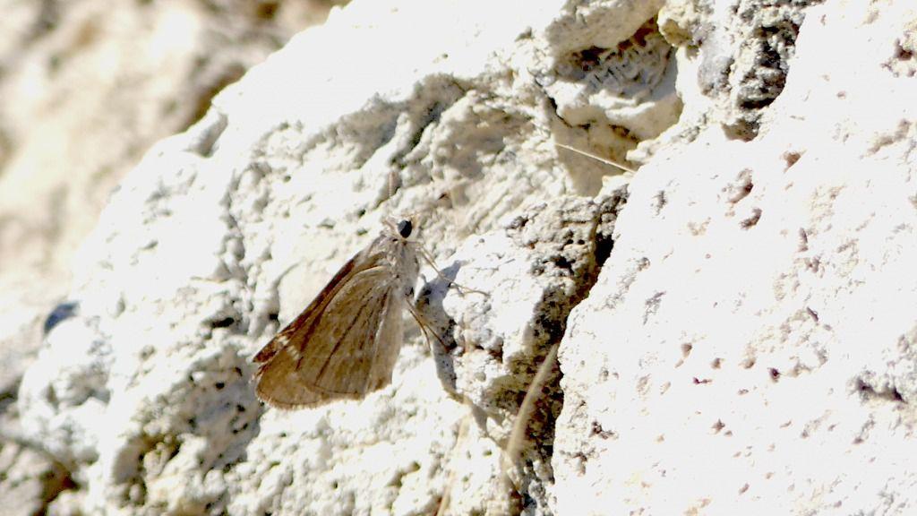 Encuentran un ejemplar de una de las mariposas más escasas de España en s'Albufera