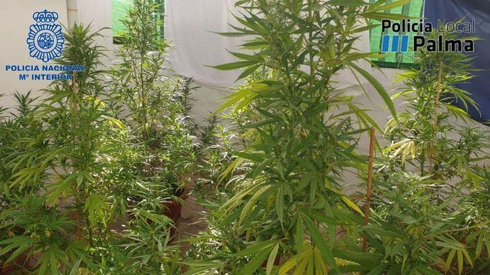 Desmantelan una plantación de marihuana en Palma