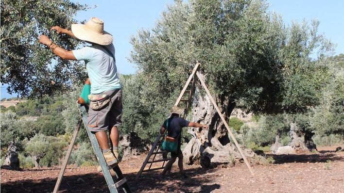 Asaja alerta de que podría perderse más del 80 por cien de cosechas en olivos y viñas