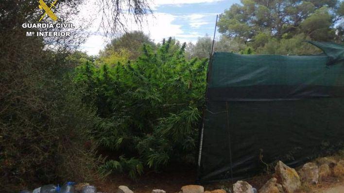 Desmantelada una plantación de marihuana en una parcela rústica de Portocolom