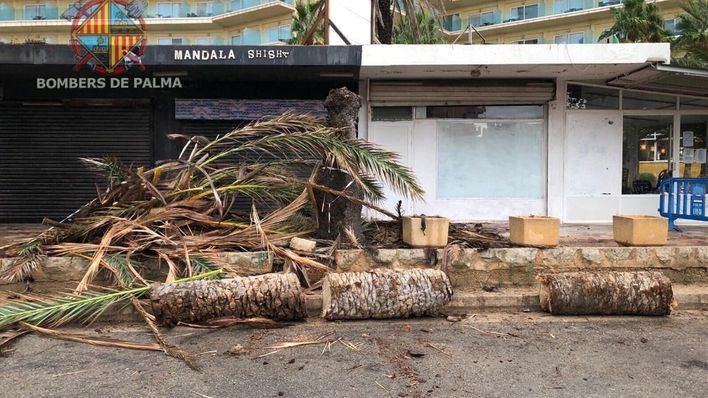 Los Bomberos de Palma retiran una palmera en Can Pastilla afectada por el picudo rojo
