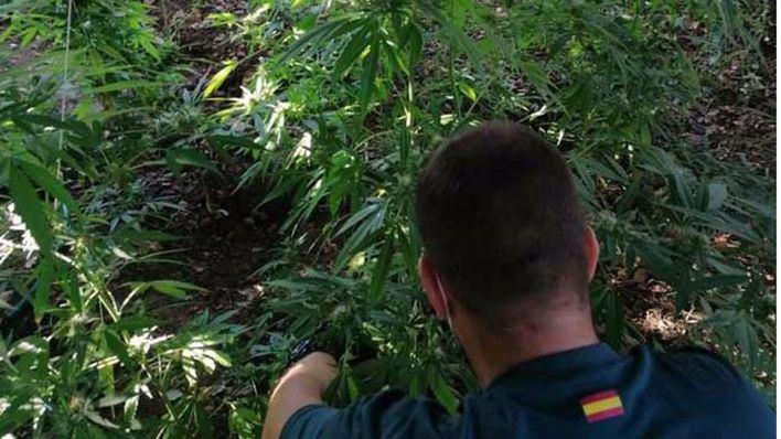 Detenidos dos hombres por cultivar marihuana en una plantación de Sant Llorenç